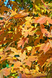 Fall's colorful trees Stock Photography