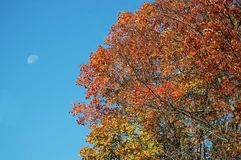 Fall scene 6. A picture of a tree in color with sky and moon in background Royalty Free Stock Image