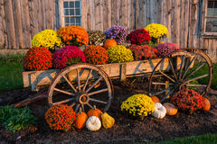 Fall scene. With colorful mums and pumpkins in old wagon against a barn backdrop Royalty Free Stock Photos