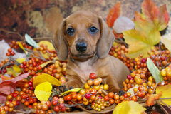 Fall Scene Dachshund Pup Royalty Free Stock Photo