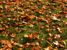 Fall scenery. Golden leafs on the still green grass Royalty Free Stock Images