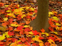 Fall Scenery in Illinois. Bright maple leaves at Kishwaukee Gorge Forest Preserve of Illinois Royalty Free Stock Photos