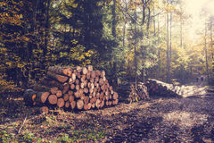 Fall scenery with warm sunlight and sun in gold trees and woodpile in stack in forest. Stock Photography