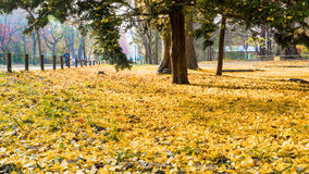 The fall season in the autumn Hokkaido University Royalty Free Stock Image