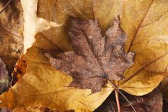 Fall season background, dried brown maple leaf royalty free stock image