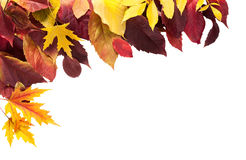 Fall season background, yellow maple leaves. Isolated on white background with copy space Stock Photos