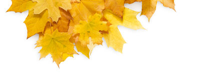 Fall season background, yellow maple leaves. Isolated on white background with copy space Royalty Free Stock Photos