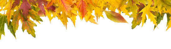 Fall season background, yellow maple leaves