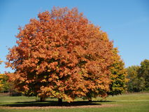 Fall season colors. Tree in fall changing color Royalty Free Stock Image