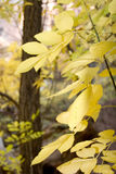 Fall season foliage on tree leaves Royalty Free Stock Photo