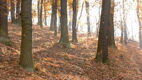 Fall Season in the Forest Royalty Free Stock Photo