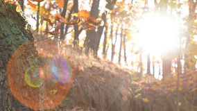 Fall Season in the Forest. Static tranquil forest with leafs falling in front of the camera, lens flare in the scene Stock Image