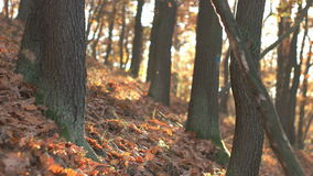 Fall Season in the Forest stock footage
