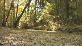 Fall Season in the Forest stock video footage