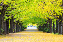 Fall season ginkgo leaves in autumn, Japan Royalty Free Stock Image