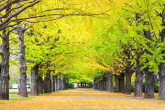 Fall season ginkgo leaves in autumn, Japan Stock Images