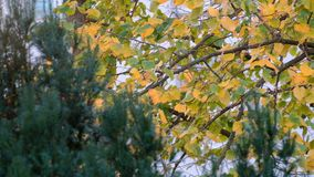 Fall Season leaves fluttering in light breeze on birch branches in autumn. Fall foliage swaying in autumn wind. Fall Season leaves fluttering in light breeze on stock video footage