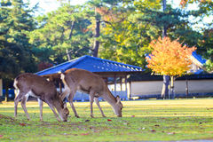 Fall season of Nara city, Japan with nice yellowred color Royalty Free Stock Photos