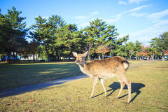 Fall season of Nara city, Japan with nice yellowred color Stock Photo