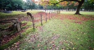 Fall season of Nara city, Japan with nice yellowred color stock video footage