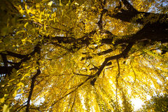 The fall season of Nishi Honganji temple in Kyoto Royalty Free Stock Photos