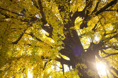 The fall season of Nishi Honganji temple in Kyoto Royalty Free Stock Photography