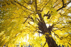 The fall season of Nishi Honganji temple in Kyoto Stock Photography