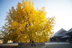The fall season of Nishi Honganji temple in Kyoto Stock Photo