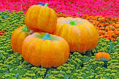 Fall season orange pumpkins display Royalty Free Stock Photo