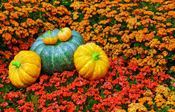 Fall season pumpkins display Royalty Free Stock Photography