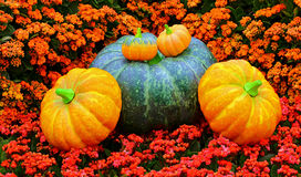 Fall season pumpkins display Stock Image