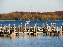 Fall Season and seagulls in Wisconsin. Fall Season and seagulls in Kenosha , Wisconsin, USA stock photography