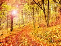 Fall season. Sun through trees on path in golden forest Royalty Free Stock Photography