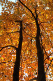 Fall Season Tree. The was taken one brisk fall morning as the sun was rising and shedding light on the trees Stock Photos