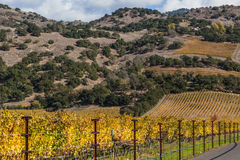 Fall season at a winery. Colorful landscapes of vines during autumn month in the wine county, Napa California Stock Photography