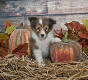 Fall Sheltie Puppy Stock Image