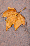 Fall. Single autumn maple leaf on ground Royalty Free Stock Image