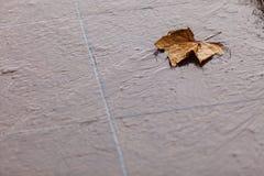 Fall. Single autumn maple leaf on ground Stock Image