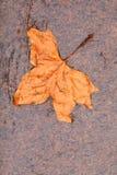 Fall. Single autumn maple leaf on ground Stock Photos