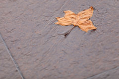 Fall. Single autumn maple leaf on ground Stock Images