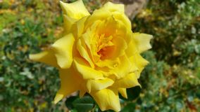 Fall-Sonnenschein Rose Lizenzfreies Stockbild