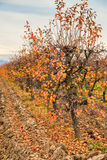 Fall at sour cherry orchard Stock Images