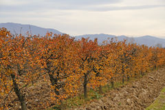 Fall at sour cherry orchard 2 Stock Photos