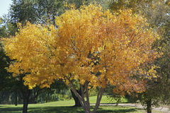 Fall Splendor. A beautiful tree turns golden in autumn Royalty Free Stock Photo