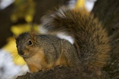 Fall Squirrel stock photography