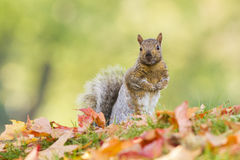 Fall Squirrel Royalty Free Stock Photography