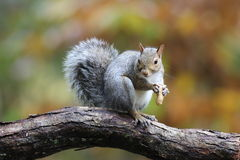 Fall Squirrel with a Nut Stock Photography