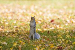 Fall and squirrels are inseparable royalty free stock photo