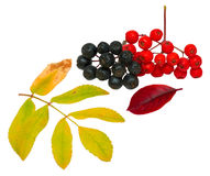 Fall still-life. Ashberry and chokeberry with their leaves. Isolated on white Stock Images