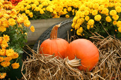 Fall Still Life. A fall still life with mums and pumpkins that are sitting on some hay Stock Photo